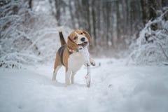 De looppas en de spelen van de brakhond in een fabelachtig snow-covered Park royalty-vrije stock afbeelding