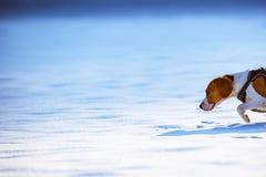 De looppas en de spelen van de brakhond op het de winter sneeuwgebied stock fotografie