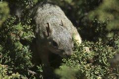 De looppas van Californië Gray Squirrel op een tak in altijdgroene pijnboomboom stock fotografie