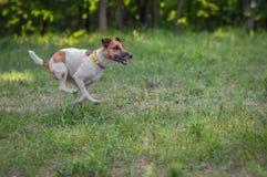 De looppas van de fox-terrierhond op een groene vallei in de zomer Stock Foto's