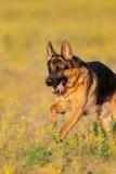 De looppas van de herdershond stock fotografie