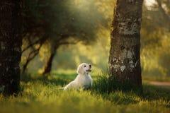 De looppas van het golden retrieverpuppy op gras en spelen Stock Foto's