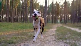 De looppas van het hondpersoneel door het bos bij zonsondergang Langzame Motie stock videobeelden