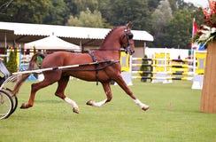 De looppas van het paard in ring Royalty-vrije Stock Fotografie