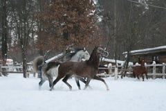 De looppas van Rabianpaarden in de sneeuw in de paddock tegen een witte omheining en bomen met gele bladeren Rood paard op de ach stock afbeeldingen