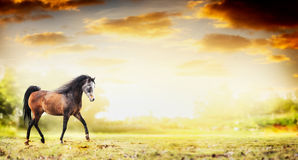 De lopende draf van het hengstpaard over de achtergrond van de de herfstaard Stock Afbeelding