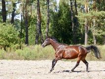 De lopende galop van het paard stock foto