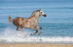 De lopende galop van het paard op het overzees stock afbeelding