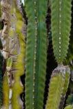 De los cactus fondo en gran parte Fotos de archivo