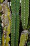 De los cactus fondo en gran parte Imagen de archivo