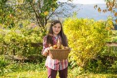 De los jóvenes manzanas de la cosecha del adolescente pre en el jardín Fotos de archivo libres de regalías