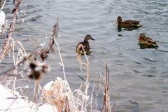 De los patos plyvut maravillosamente en el lago Fotografía de archivo libre de regalías