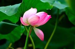 De Lotus-bloem in de regen Royalty-vrije Stock Foto's
