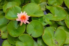 De Lotus de la flor pozo adentro Imagen de archivo libre de regalías