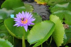 De Lotus púrpura lilly en el agua Foto de archivo libre de regalías