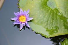 De Lotus púrpura lilly en el agua Fotografía de archivo