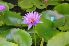 De Lotus púrpura lilly en el agua Fotos de archivo libres de regalías