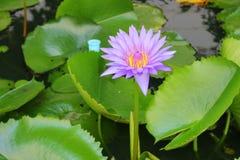 De Lotus púrpura lilly en el agua Fotografía de archivo libre de regalías