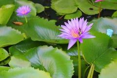 De Lotus púrpura lilly en el agua Imagenes de archivo