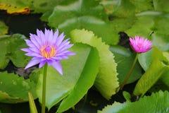 De Lotus púrpura lilly en el agua Imagen de archivo libre de regalías