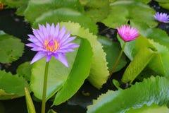 De Lotus púrpura lilly en el agua Imagen de archivo