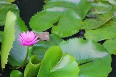 De Lotus púrpura lilly en el agua Fotos de archivo