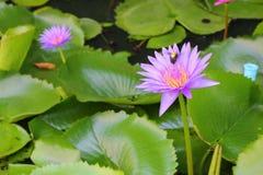De Lotus púrpura lilly en el agua Imágenes de archivo libres de regalías