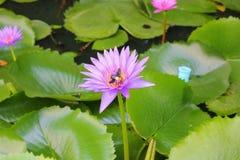 De Lotus púrpura lilly en el agua Foto de archivo
