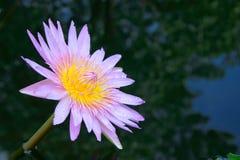 De lotusbloem Royalty-vrije Stock Foto's