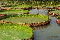 De lotusbloem Royalty-vrije Stock Foto