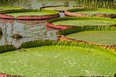 De lotusbloem Stock Foto