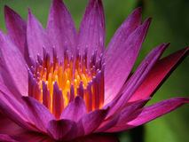 De lotusbloem Royalty-vrije Stock Fotografie