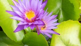 De lotusbloem Egyptenaar van Saered van Nelumbonucifera Stock Foto