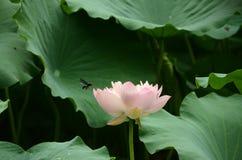 De lotusbloem en de bijen Stock Afbeeldingen