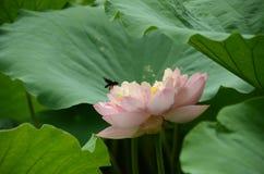 De lotusbloem en de bijen Royalty-vrije Stock Afbeeldingen