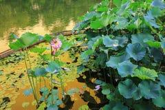 de lotusbloem in Fanling Hong Lok Park HK Royalty-vrije Stock Foto