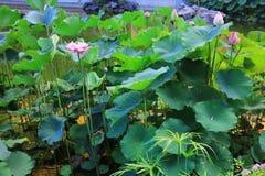 de lotusbloem in Fanling Hong Lok Park HK Royalty-vrije Stock Afbeelding