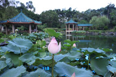 de lotusbloem in Fanling Hong Lok Park HK Stock Afbeelding