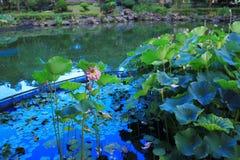 de lotusbloem in Fanling Hong Lok Park HK Stock Foto