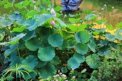 de lotusbloem in Fanling Hong Lok Park HK Stock Afbeeldingen