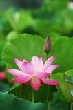 De lotusbloem van de bloei Stock Foto