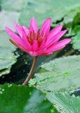 De lotusbloem van de bloesem Royalty-vrije Stock Foto