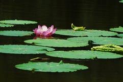 De lotusbloem van de oppervlakte Stock Foto's