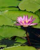 De lotusbloem van de zomer Royalty-vrije Stock Afbeelding