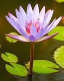 De lotusbloem is violet Royalty-vrije Stock Afbeelding