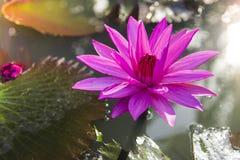 De lotusbloembloem vertegenwoordigt het symbool van Boeddhisme en kan worden gebruikt om God te aanbidden royalty-vrije stock fotografie