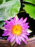 de lotusbloembloemen in de vijver stock foto's