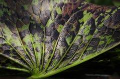 De lotusbloemtextuur van het blad Stock Afbeeldingen