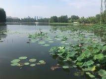 De lotusbloemvijver royalty-vrije stock foto's