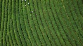 De luchtaanplanting van de menings groene Thee en de landbouwers stock footage